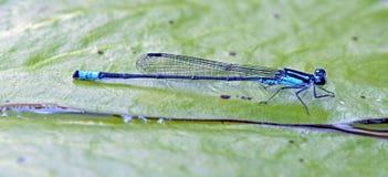 Λιβελλούλη που διακρίνεται στο υπόλοιπο του ατλαντικού τροπικού δάσους Στοκ Εικόνες