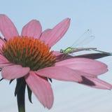 Λιβελλούλη που στηρίζεται σε ένα ρόδινο λουλούδι Στοκ Εικόνες