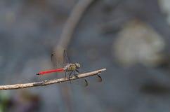 Λιβελλούλη στη φύση Στοκ Εικόνες