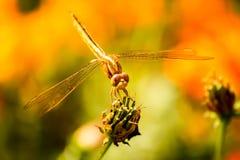 Λιβελλούλη στον κήπο Στοκ φωτογραφίες με δικαίωμα ελεύθερης χρήσης