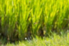 Λιβελλούλη στο θολωμένο τομέας υπόβαθρο ρυζιού Στοκ φωτογραφία με δικαίωμα ελεύθερης χρήσης