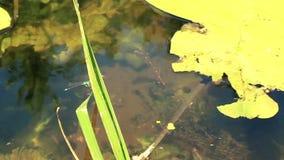 Λιβελλούλη στο πράσινο φύλλο απόθεμα βίντεο