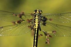 Λιβελλούλη φτερών λεπτομέρειας Στοκ φωτογραφίες με δικαίωμα ελεύθερης χρήσης