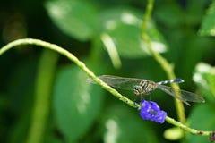 Λιβελλούλη Anisoptera με το πορφυρό λουλούδι Στοκ Εικόνες