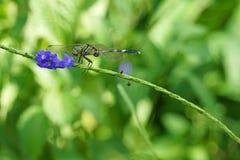 Λιβελλούλη Anisoptera με το πορφυρό λουλούδι Στοκ Φωτογραφίες