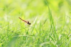 Λιβελλούλη (chalybea Brachydiplax) 5 Στοκ Φωτογραφίες