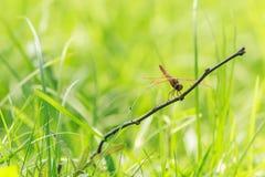 Λιβελλούλη (chalybea Brachydiplax) 6 Στοκ φωτογραφία με δικαίωμα ελεύθερης χρήσης