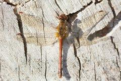Λιβελλούλη Meadowhawk φθινοπώρου Στοκ Εικόνες