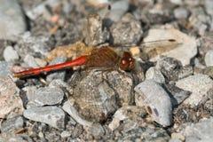 Λιβελλούλη Meadowhawk φθινοπώρου Στοκ φωτογραφίες με δικαίωμα ελεύθερης χρήσης