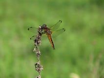 Λιβελλούλη (Odonata) Στοκ εικόνα με δικαίωμα ελεύθερης χρήσης