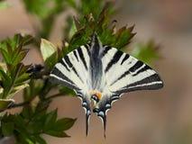 Λιγοστά Swallowtail & x28 Iphiclides podalirius& x29  στο φυσικό βιότοπο Στοκ Φωτογραφίες