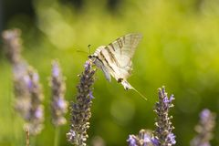 Λιγοστή πεταλούδα ο podalirius Iphiclides πεταλούδων swallowtail Στοκ εικόνα με δικαίωμα ελεύθερης χρήσης