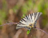 Λιγοστή πεταλούδα Swallowtail Στοκ Εικόνες