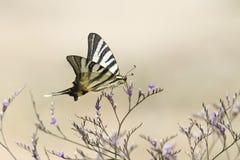 Λιγοστή πεταλούδα swallowtail, podalirius Iphiclides που πετά aroun Στοκ Φωτογραφίες