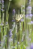 Λιγοστή πεταλούδα Swallowtail (podalirius Iphiclides) Στοκ Φωτογραφία