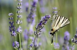 Λιγοστή πεταλούδα Swallowtail (podalirius Iphiclides) Στοκ φωτογραφία με δικαίωμα ελεύθερης χρήσης