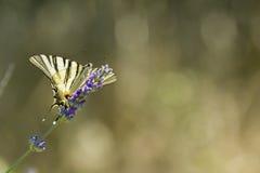 Λιγοστή πεταλούδα Swallowtail (podalirius Iphiclides) Στοκ εικόνες με δικαίωμα ελεύθερης χρήσης