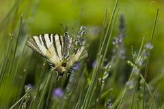 Λιγοστή πεταλούδα Swallowtail (podalirius Iphiclides) Στοκ Φωτογραφίες
