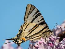 Λιγοστό να ταΐσει swallowtail με τα άνθη της πασχαλιάς Στοκ εικόνες με δικαίωμα ελεύθερης χρήσης