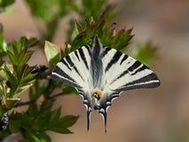 Λιγοστό podalirius Swallowtail Iphiclides στο φυσικό βιότοπο Στοκ εικόνα με δικαίωμα ελεύθερης χρήσης