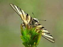 Λιγοστό podalirius Swallowtail Iphiclides στο φυσικό βιότοπο Στοκ φωτογραφία με δικαίωμα ελεύθερης χρήσης