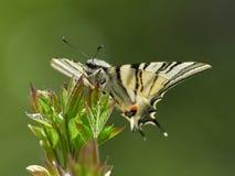Λιγοστό podalirius Swallowtail Iphiclides στο φυσικό βιότοπο Στοκ Εικόνες