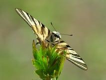 Λιγοστό podalirius Swallowtail Iphiclides στο φυσικό βιότοπο Στοκ Φωτογραφίες