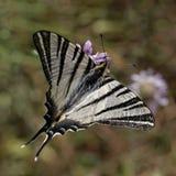 Λιγοστό swallowtail, πανί swallowtail Στοκ εικόνες με δικαίωμα ελεύθερης χρήσης