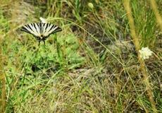 Λιγοστό Swallowtail - πεταλούδα Στοκ Εικόνες
