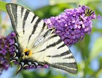 λιγοστό swallowtail Στοκ Εικόνες