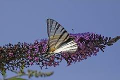 λιγοστό swallowtail buddeja Στοκ φωτογραφίες με δικαίωμα ελεύθερης χρήσης