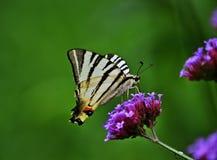 Λιγοστό swallowtail - podalirius Iphiclides Στοκ φωτογραφία με δικαίωμα ελεύθερης χρήσης