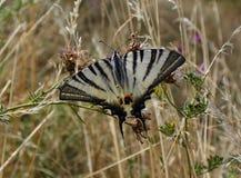 Λιγοστό swallowtail - podalirius Iphiclides Στοκ εικόνα με δικαίωμα ελεύθερης χρήσης