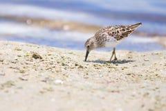 Λιγότερο μπεκατσίνι στην παραλία στοκ φωτογραφία με δικαίωμα ελεύθερης χρήσης