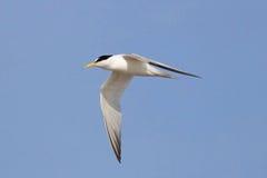 Λιγότερο στέρνα που πετά κοντά Στοκ φωτογραφία με δικαίωμα ελεύθερης χρήσης