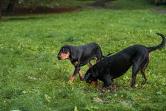 Λιθουανικά σκυλιά Playng κυνηγόσκυλων στη χλόη Στοκ εικόνες με δικαίωμα ελεύθερης χρήσης