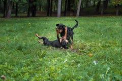 Λιθουανικά σκυλιά Playng κυνηγόσκυλων στη χλόη Στοκ φωτογραφίες με δικαίωμα ελεύθερης χρήσης
