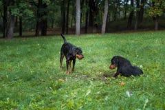 Λιθουανικά σκυλιά Playng κυνηγόσκυλων στη χλόη Στοκ Εικόνες