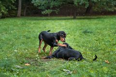 Λιθουανικά σκυλιά Playng κυνηγόσκυλων στη χλόη Στοκ εικόνα με δικαίωμα ελεύθερης χρήσης