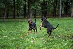 Λιθουανικά σκυλιά Playng κυνηγόσκυλων στη χλόη Στοκ Φωτογραφία