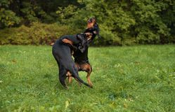 Λιθουανικά σκυλιά Playng κυνηγόσκυλων στη χλόη Στοκ Εικόνα