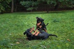Λιθουανικά σκυλιά Playng κυνηγόσκυλων στη χλόη Στοκ φωτογραφία με δικαίωμα ελεύθερης χρήσης