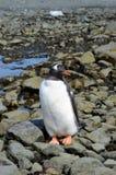 Λιμάνι Mikkelson κινηματογραφήσεων σε πρώτο πλάνο Penguin Gentoo, Ανταρκτική Στοκ εικόνα με δικαίωμα ελεύθερης χρήσης