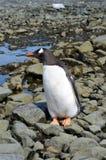 Λιμάνι Mikkelson κινηματογραφήσεων σε πρώτο πλάνο Penguin Gentoo, Ανταρκτική Στοκ φωτογραφίες με δικαίωμα ελεύθερης χρήσης