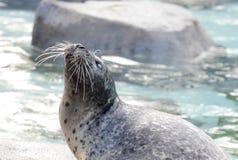 Λιμάνι seal2 Στοκ Εικόνα