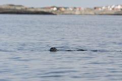 Λιμενική σφραγίδα που κολυμπά, σπίτια στο υπόβαθρο Στοκ φωτογραφία με δικαίωμα ελεύθερης χρήσης