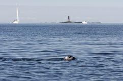Λιμενική σφραγίδα που κολυμπά, sailboat στο υπόβαθρο Στοκ εικόνες με δικαίωμα ελεύθερης χρήσης