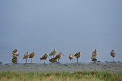 λιμόζες shorebirds μαρινών tokeland στοκ εικόνες