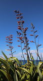 Λινάρι της Νέας Ζηλανδίας Harakeke που ανθίζει από τον ωκεανό Στοκ εικόνες με δικαίωμα ελεύθερης χρήσης