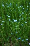 λινάρι Manitoba Στοκ φωτογραφία με δικαίωμα ελεύθερης χρήσης